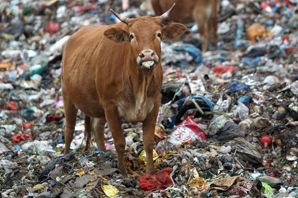 cattle-graze-in-a-garbage-dump