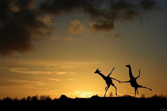 giraffesdancing